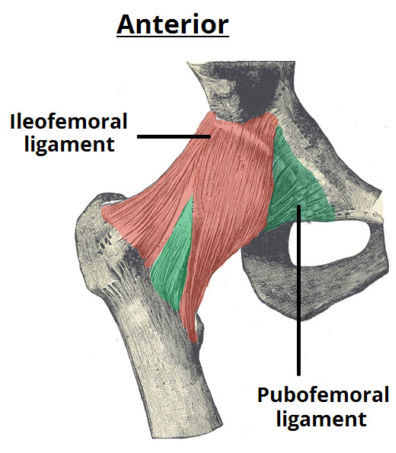 Anterior Ligaments of the Hip Joint