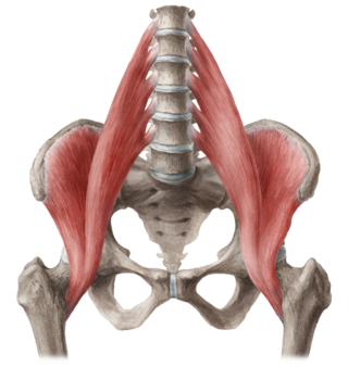 iliopsoas muscle hip